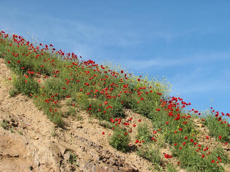 poppies near the border of Iran-Armenia