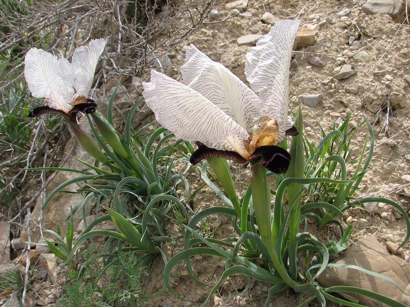Iris paradoxa forma Choschab (Iran, Azarbayjan-e-Gharqi, mountains 15 km S of Siyah Rud, 1400m (18)