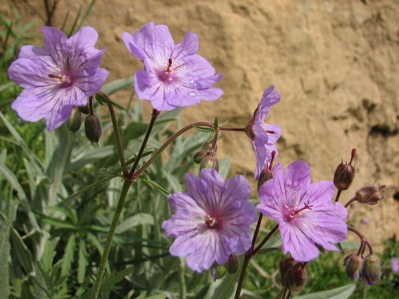 Geranium spec. (Iran, Azarbayjan-e-Gharbi, pass 2300m Ziveh-Kaveh near border Turkey - Iraq)(23)