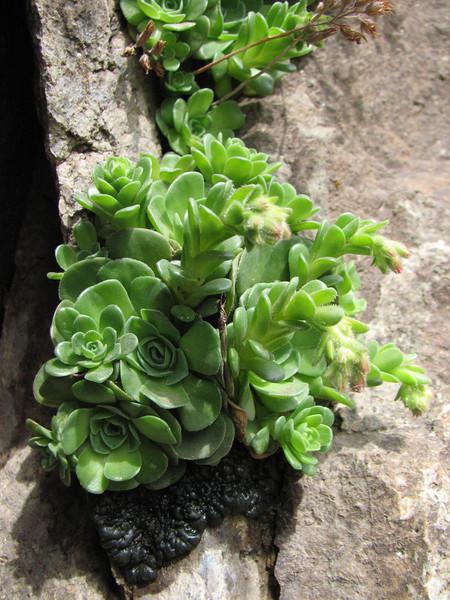 Rosularia cf. sempervivum (Iran, Azarbayjan-e-Gharqi, mountains between Ahar and Meshgin Shahr (11)