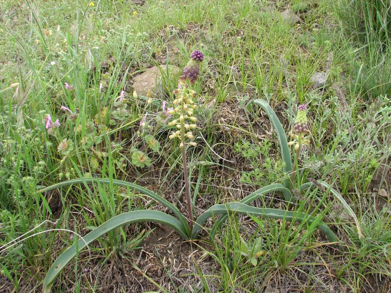 Muscari caucasicum (Iran, Ardabil, mountains between Khalkhal and Kivi (8)