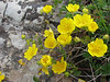 Potentilla spec. (Iran, Gilan, Elburz mountains, pass, SE of Masuleh 2200m) (6)