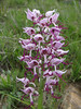 Orchis simia (Iran, Azarbayjan-e-Gharqi, mountains NW of Kharvanaq (19)