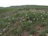 Tragopogon spec. (Iran, Ardabil, mountains between Khalkhal and Kivi (8)