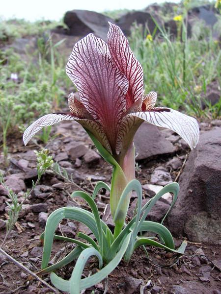 Iris acutiloba lineolata (Iran, Azarbayjan-e-Gharqi, mountains E of Ahar, 1400m (12)