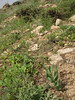 Fritillaria persica (Iran, Azarbayjan-e-Gharbi, pass 2300m Ziveh-Kaveh near border Turkey - Iraq)(23)