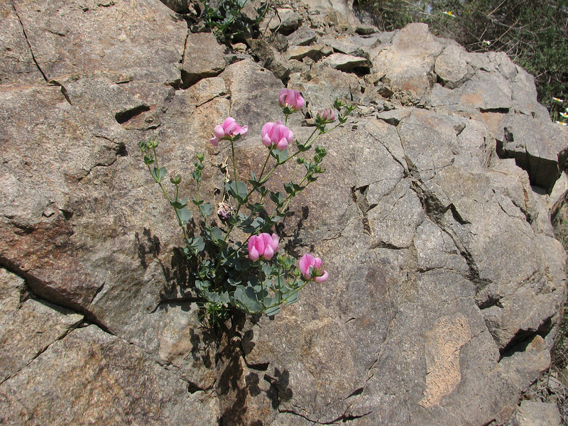 Lotus gebelia (Iran, Qazvin, Sendan mountains, near Gilan Shah, 10km W of Sefid Rud Reservoir (39)