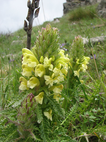 Pedicularis condensata (Iran, Azarbayjan-e-Gharqi, mountains near the Kalan pass 2100m, 30km N of Kalibar (15)