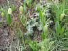 Fritillaria kotschyana ssp. kotschyana (high altitude spec.) (Iran, Tehran, Elburz mountains, Dizin pass 3234m (2)