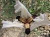 Iris paradoxa forma choschab