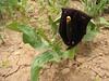 Eminium heterophyllum (Iran, Azarbayjan-e-Gharbi, near Kani Bagh 2600m, 30 km NE of Piranshahr (26)