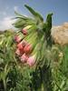 Onosma bulbotrichum (Iran, Azarbayjan-e-Gharbi, pass 2300m Ziveh-Kaveh near border Turkey - Iraq)(23)