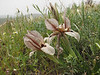 Iris acutiloba lineolata (Iran, Azarbayjan-e-Gharbi, 5km SW of Shahin Dezh 1700-1800m (29)
