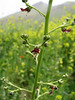 Scrophularia spec. (Iran, Azarbayjan-e-Gharbi, near Kani Bagh 2600m, 30 km NE of Piranshahr (26)