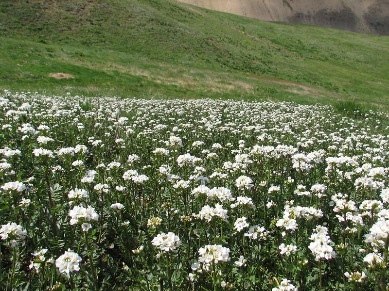 Cardamine spec. Iran, Gilan, Elburz mountains, pass, SE of Masuleh 2200m (6)