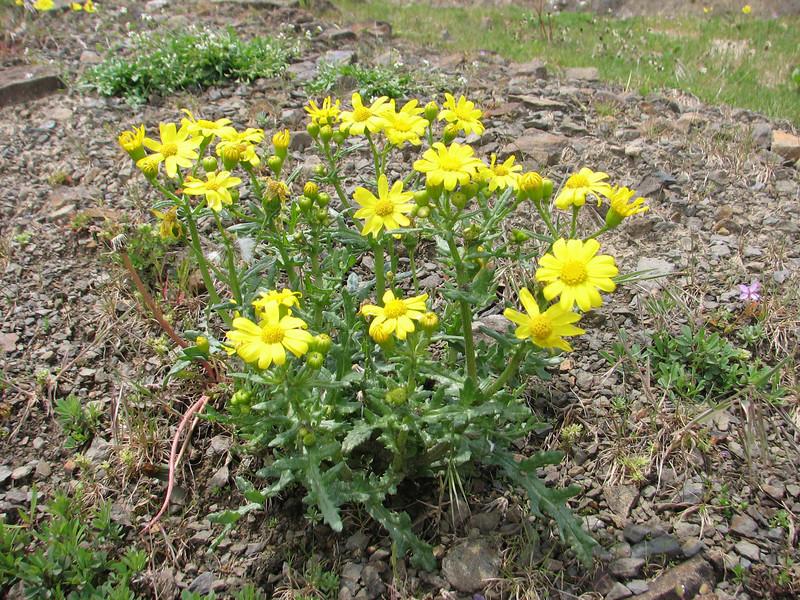 Senecio glaucus,  Iran, Gilan, Elburz mountains, SE of Masuleh (5)