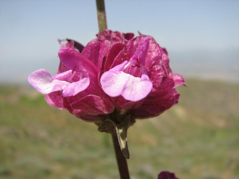 Salvia hydrangea  (Iran, Qazvin, Sendan mountains, near Gilan Shah, 10km W of Sefid Rud Reservoir (39)