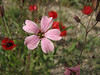Vaccaria oxyodonta (Iran, Azarbayjan-e-Gharbi, 5km SW of Shahin Dezh 1700-1800m (29)