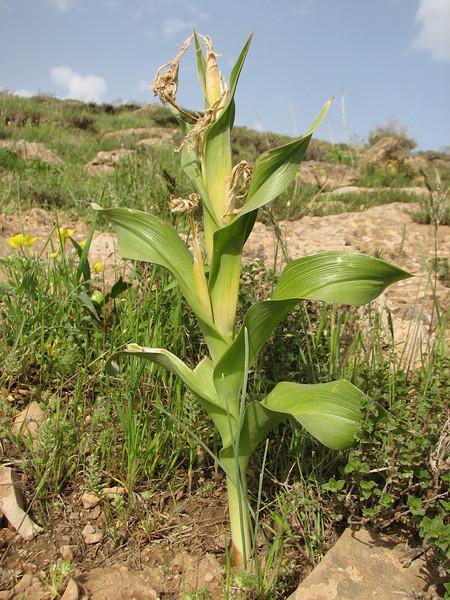 Iris aucheri, after flowering (Iran, Azarbayjan-e-Gharbi, pass 2300m Ziveh-Kaveh near border Turkey - Iraq)(23)