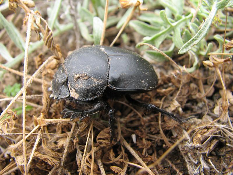 Scarabaeidae fam. (NL: mestkeversoort)(Iran, Azarbayjan-e-Gharqi, mountains near border of Orumieh saltlake, 8km S of Ag Gonbad)(21)