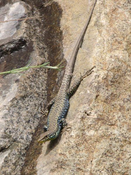 Darevskia raddei ssp. raddei, ID by Dr. Khosrow Rajabizadeh,  (Iran, Azarbayjan-e-Gharqi, mountains between Ahar and Meshgin Shahr (11)