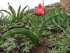 Tulipa spec. aff. systola (67,9 PG)(Iran, Kurdistan, near Choplu 1700m (31)
