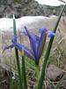 Iris reticulata var. reticulata (Iran, Ardabil, Kuh-e-Sabalan mountains S of Lahrud, 2600m vulcanic (10)