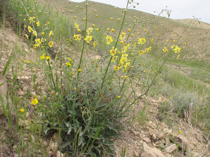 Verbascum orientale