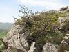 Quercus brantii (Iran, Zanjan, Sendan mountains, 15km NE of Bonab 2110m (37)