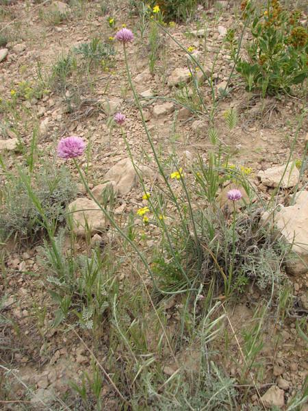 Allium spec. (Iran, Zanjan, 3km NE of Sontu (35)