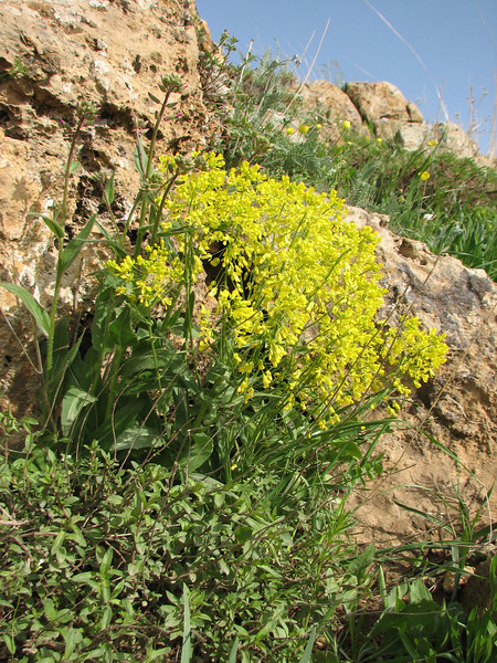 Isatis spec. (Iran, Azarbayjan-e-Gharbi, pass 2300m Ziveh-Kaveh near border Turkey - Iraq)(23)