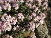 Thymus pubescens (Iran, Azarbayjan-e-Gharqi, mountains NE of Mardanqayem, border Iran-Armenia (16)