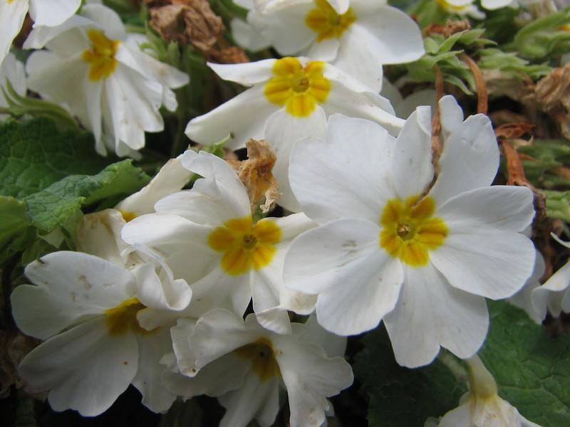 Primula vulgaris ssp. heterochroma (white coloured form)  Iran, Gilan, Elburz mountains, SE of Masuleh (5)