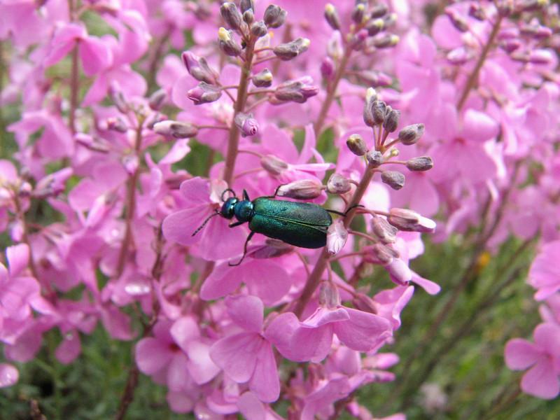 Lytta vesicatoria, (NL: Spaanse Vlieg) on Aethionema grandiflora (Iran, Ardabil, mountains between Khalkhal and Kivi (8)