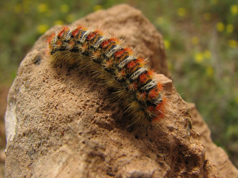 caterpillar (Iran, Azarbayjan-e-Gharbi, 15km SW of Shahin Dezh(28)