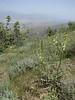 Astragalus cf. galegiformis (shrub to100cm) (Iran, Qazvin, Sendan mountains, near Gilan Shah, 10km W of Sefid Rud Reservoir (39)