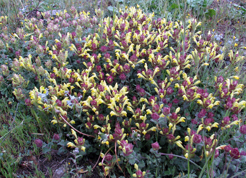 Scutellaria cf. pinnatifida (syn. S. orientalis ssp. pinnatifida)(Iran, Azarbayjan-e-Gharqi, mountains 5km S of Kalibar (13)
