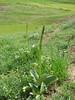 Arum detruncatum var. virescens (Iran, Azarbayjan-e-Gharqi, mountains 15 km S of Siyah Rud, 1400m (18)