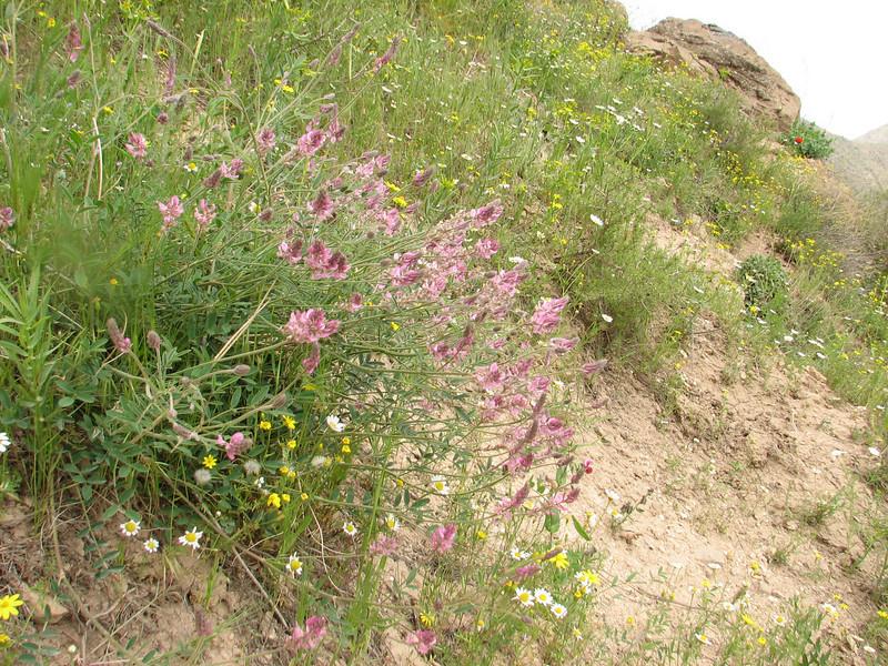 Onobrychis cf. altissima (Iran, Azarbayjan-e-Gharbi, near Kani Bagh 2600m, 30 km NE of Piranshahr (26)