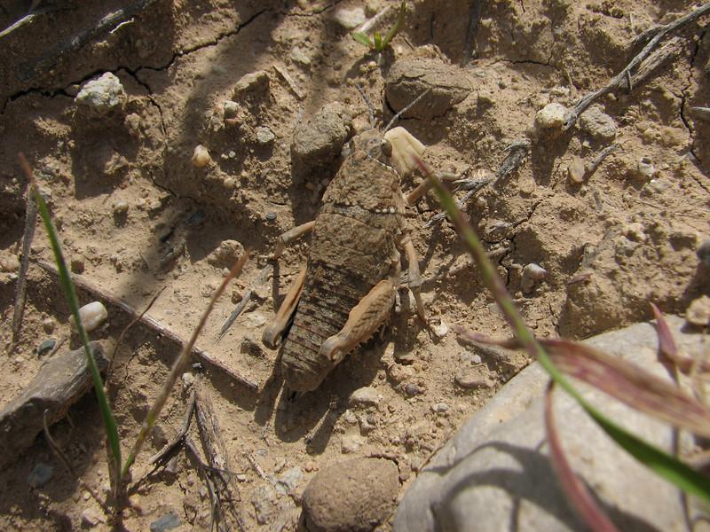 Grasshopper (Iran, Azarbayjan-e-Gharqi, mountains 15 km S of Siyah Rud, 1400m (18)