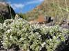 Paronychia caespitosa (Iran, Azarbayjan-e-Gharqi, mountains NE of Mardanqayem, border Iran-Armenia (16)