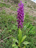 Orchis pinetorum (Iran, Gilan, Elburz mountains, SE of Masuleh (5)
