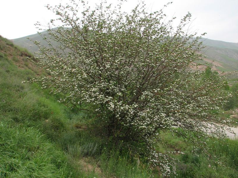 Crataegus spec. (Iran, Azarbayjan-e-Gharbi, 20 km SW of Orumieh)(22)