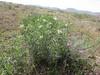 Peganum harmala (Iran, Qazvin, Sendan mountains, near Gilavan, W of Sefid Rud Reservoir (40)