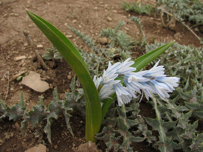 Puschkinia scilloides (Iran, Gilan, Elburz mountains, pass, SE of Masuleh 2200m) (6)