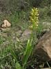 Orchis punctulata (Iran, Azarbayjan-e-Gharqi, mountains NW of Kharvanaq (19)