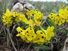 Arnebia pulchra  (NL: profetenbloem)Iran, Gilan, Elburz mountains, pass, SE of Masuleh 2200m (6)
