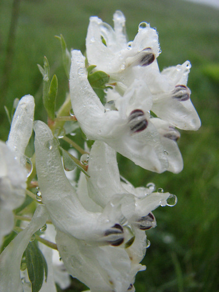 Corydalis angustifolia, (Iran, Gilan, Tales mountains, pass, SW of Asalem 2030-2380m (7)