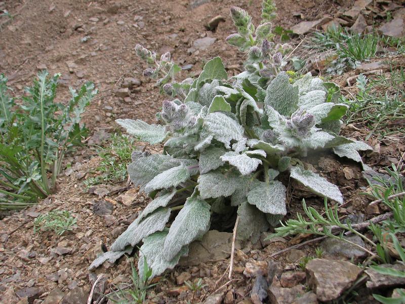 Salvia argentea (Iran, Tehran, Elburz mountains, Fasham pass 2800m (1)