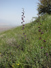 Delphinium aquilegifolium (Iran, Qazvin, Sendan mountains, near Gilan Shah, 10km W of Sefid Rud Reservoir 1200m (39)